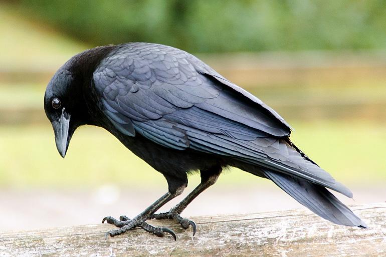 Хитрый ворон