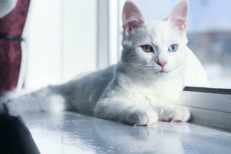 Котёнок ангора