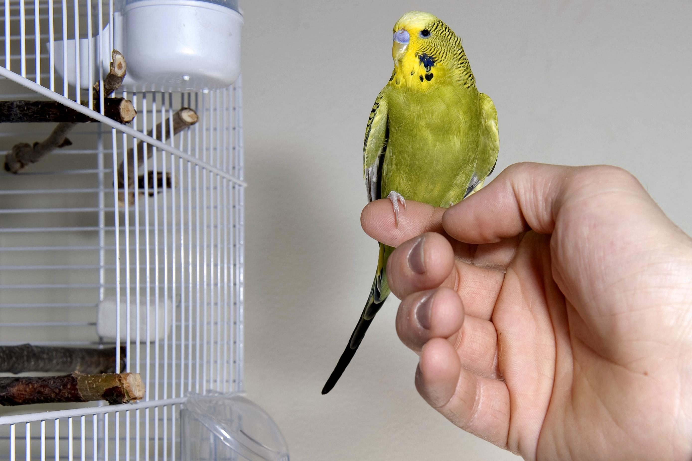 Волнистый попугай на руке