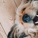 Смена зубов у собак карликовых пород