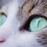 Причины появления язвы роговицы у кошек, симптомы заболевания, методики лечения