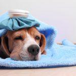 Симптомы ринотрахеита у собаки – насморк и сухой кашель