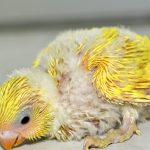 Уход за птенцами волнистого попугая