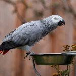 Попугай жако — содержание, уход, гигиена