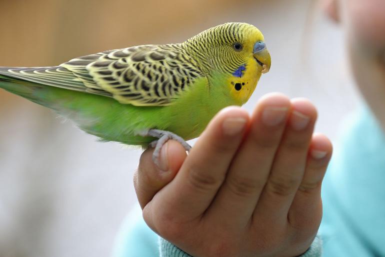 Волнистый попугай ест с руки