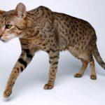 Экзотическая кошка породы ашера