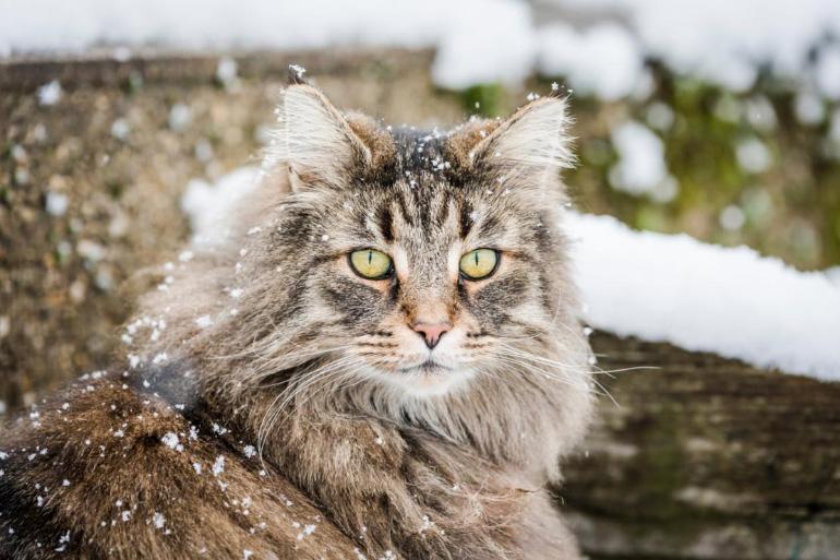 Порода Норвежская лесная кошка