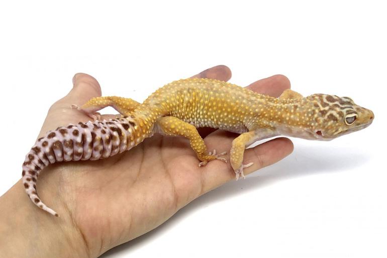 Эублефар или пятнистый геккон