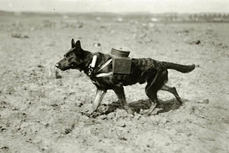 Собака связист