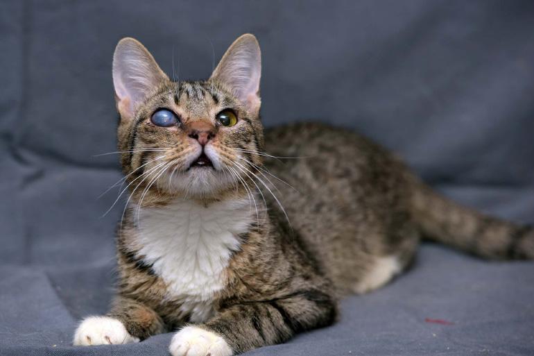 Повреждение роговицы у кошки