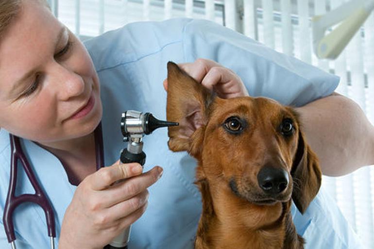 Осмотр собаки ветеринаром