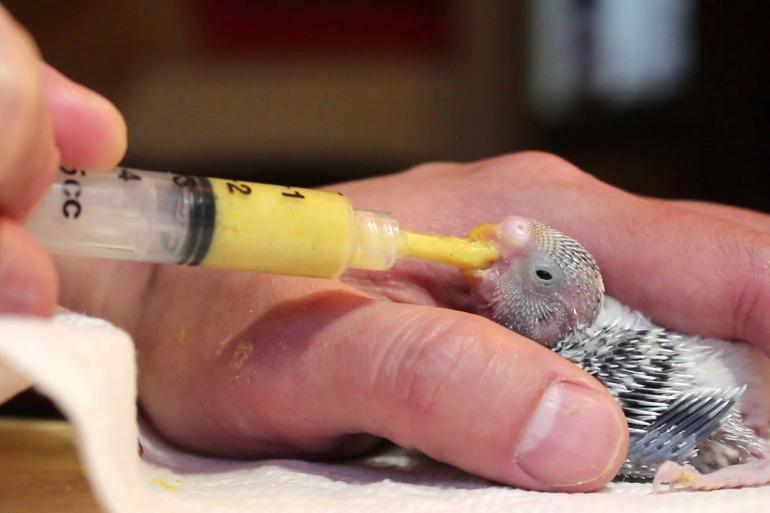 Кормление птенца волнистого попугая