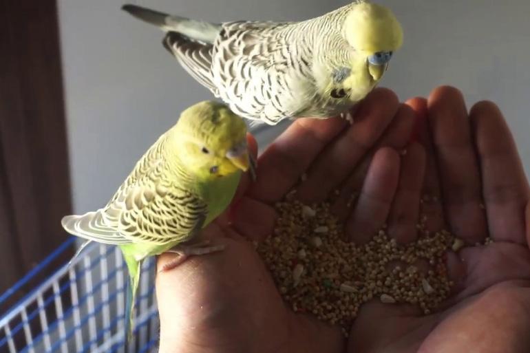 Волнистые попугаи едят с руки