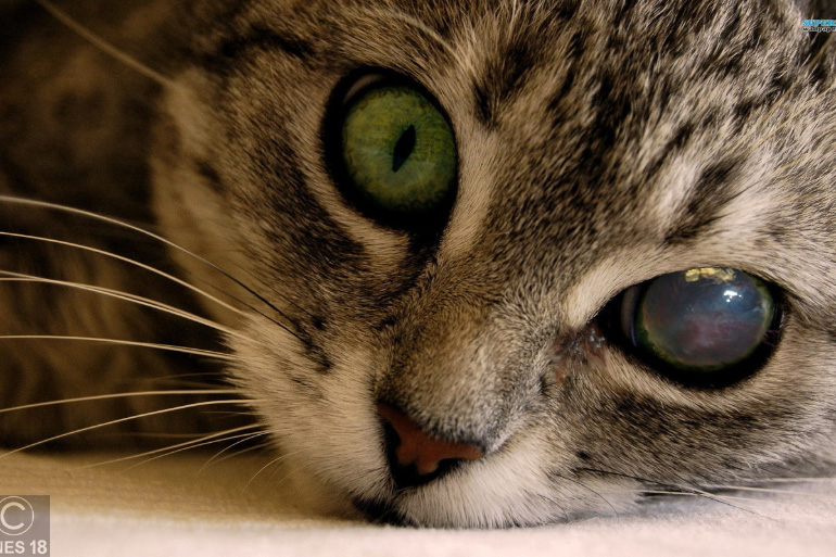 Повреждённый глаз у кошки