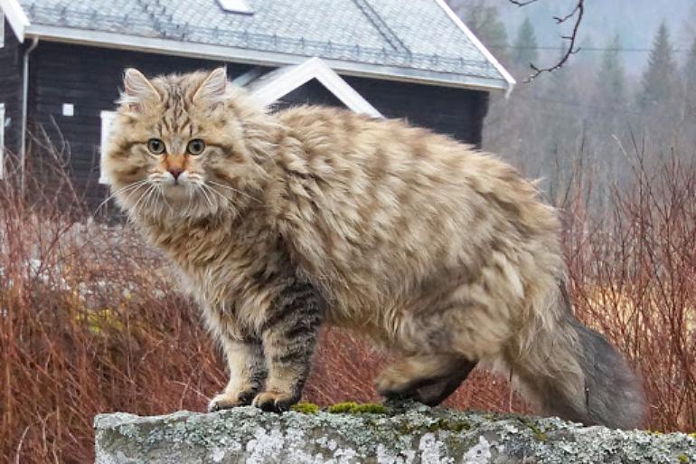 Пушистая Норвежская лесная кошка
